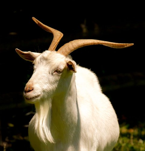 Goat, teaser